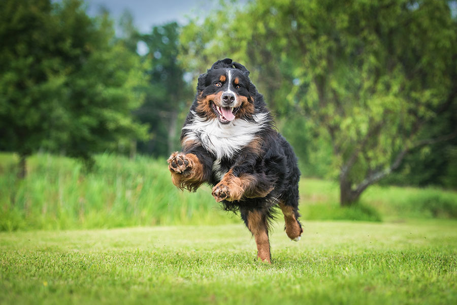 Bernese Mountain Dogs (Photo: Adobe)
