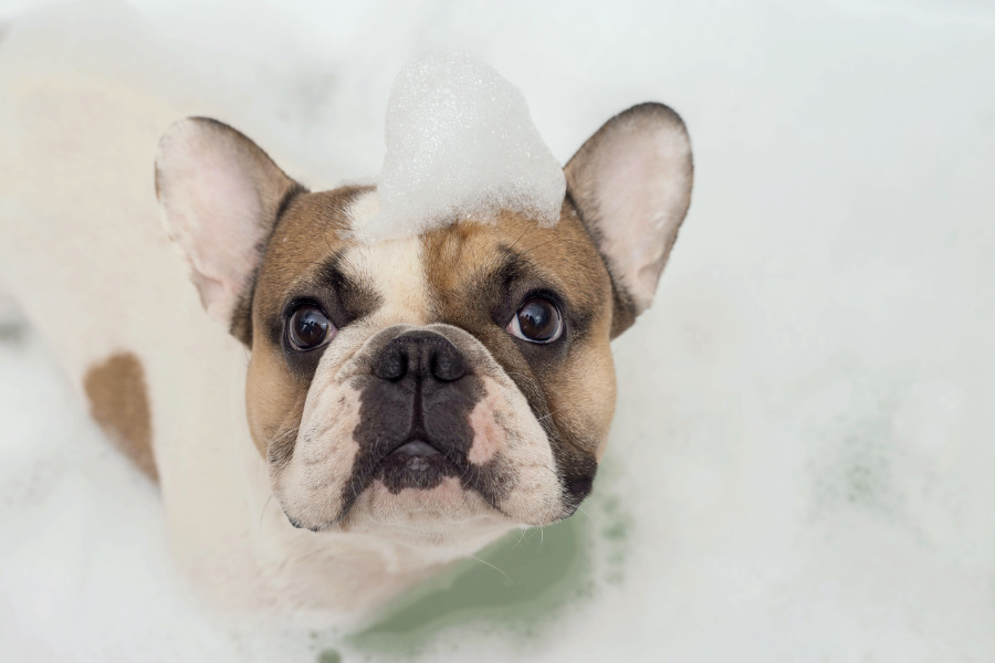 French Bulldog takes a bath (Photo: Adobe Stock)
