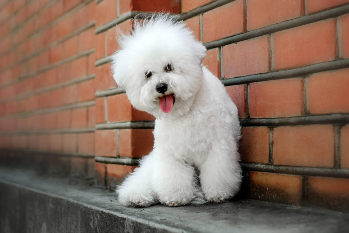 Bichon Frise dog sat against a wall (Photo: Adobe Stock)