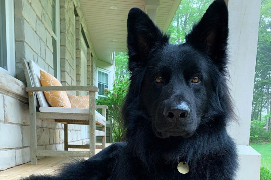 Charlie the Black Shepherd (Photo: @charlie_theblackshepherd / Instagram)