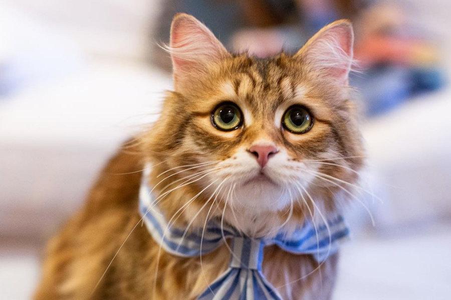 Bobby Joe Siberian Forest cat (Photo: bobbyjoe_the_cat / Instagram)