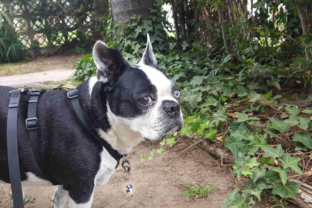 Lili Chin's dog Boogie