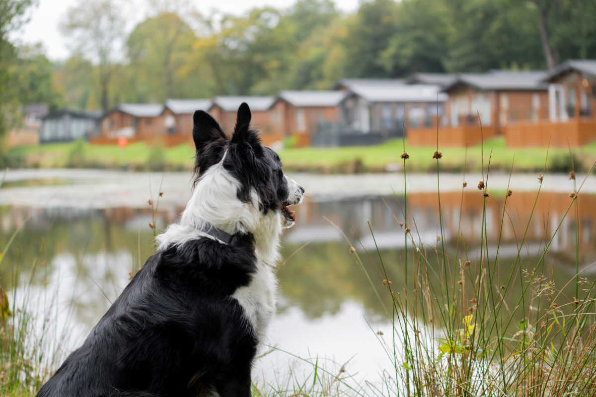 Border Collie at Lakeview Manor (Photo: Lakeview Manor)