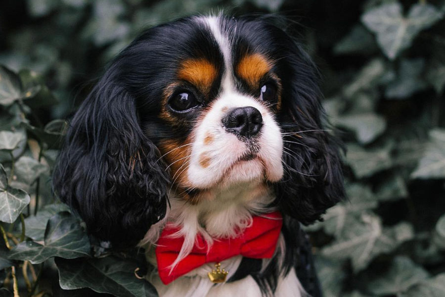 Do Cavalier King Charles Spaniels have a lot of health problems?