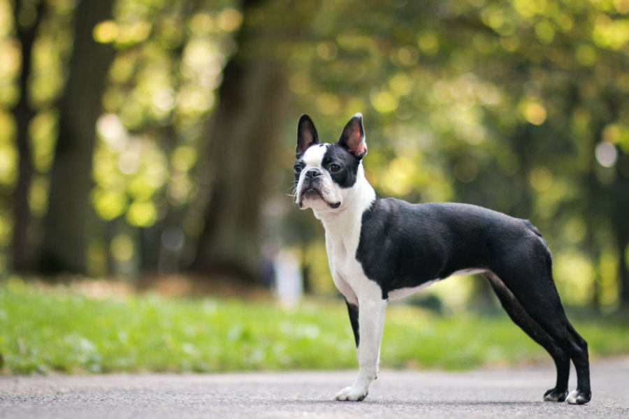 Boston Terrier (Photo: Adobe Stock)