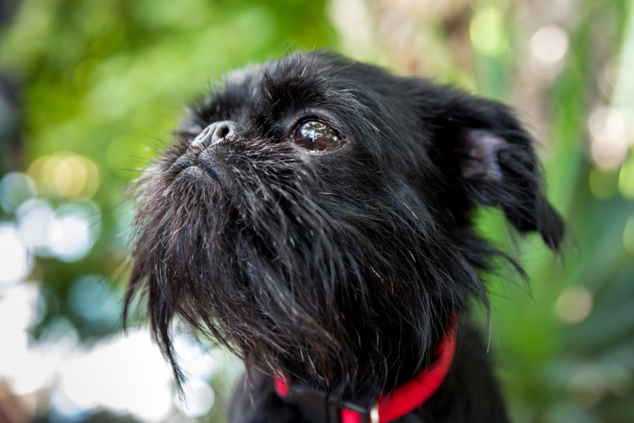 Brussels Griffon were almost extinct during the World Wars as Belgium suffered (Photo: Adobe Stock)