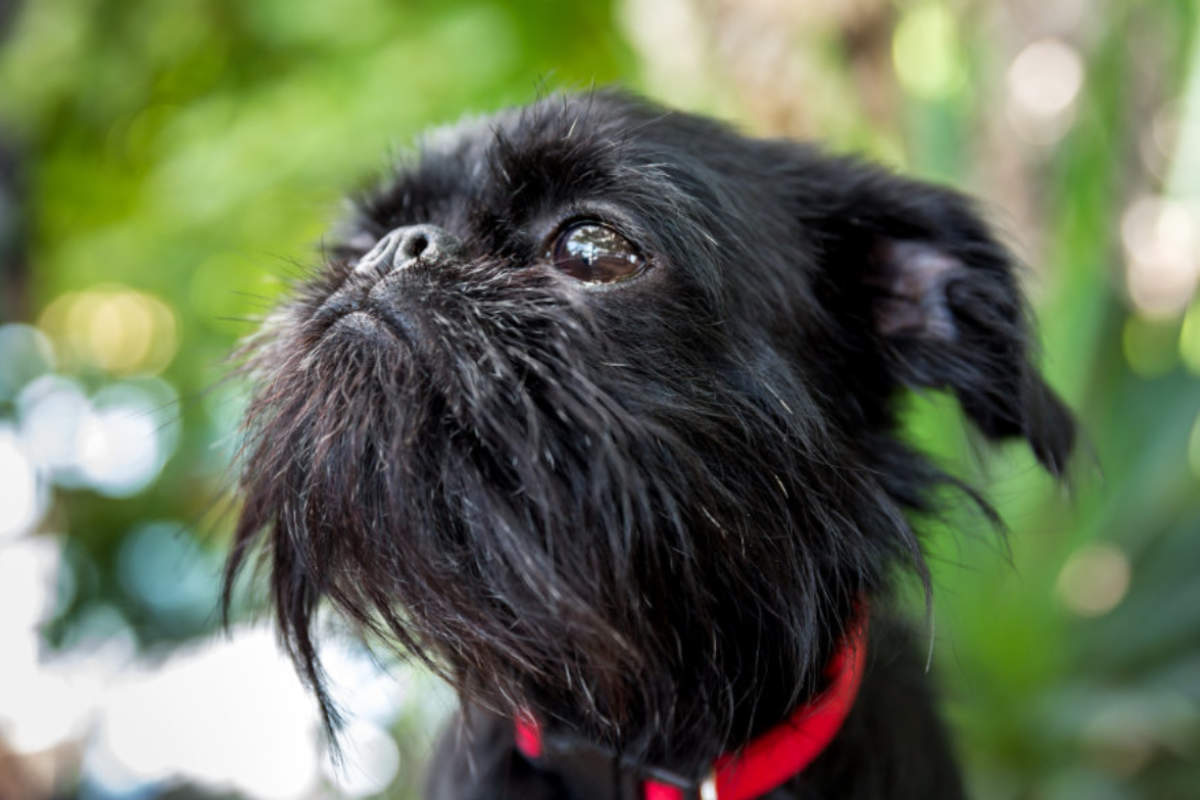 Brussels Griffon were almost extinct after World War I and II as Belgium suffered (Photo: Adobe Stock)