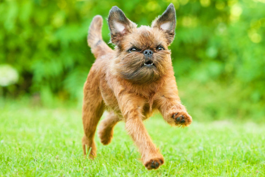 Brussel Griffon were bred to hunt vermin in Belgian stables (Photo: Adobe Stock)