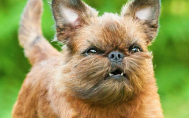 10 Brussels Griffon you need to follow on Instagram