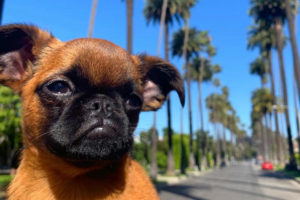 Sad Bobbie: Brussels Griffon Questions and Answers