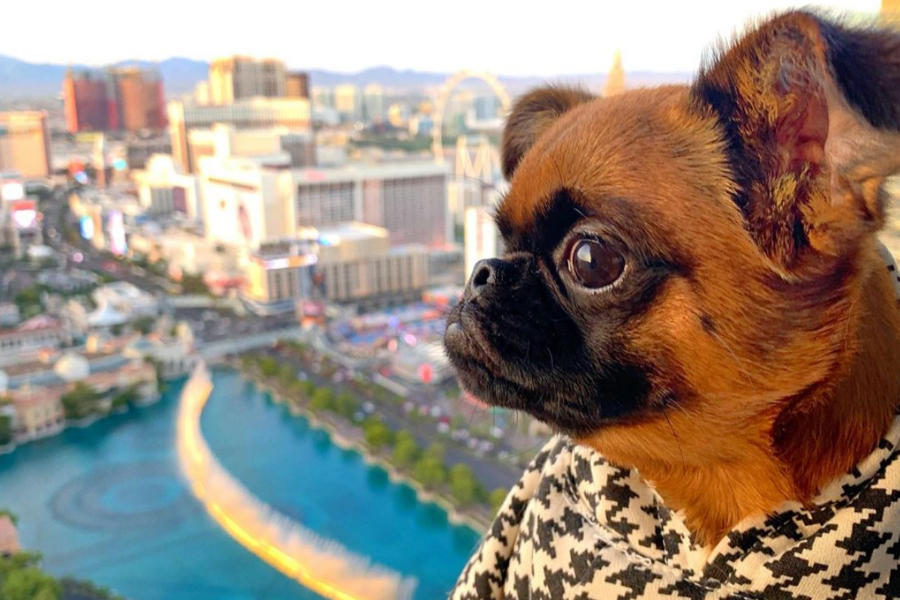 Sad Bobbie the Brussels Griffon (Photo: @sadbobbie / Instagram)