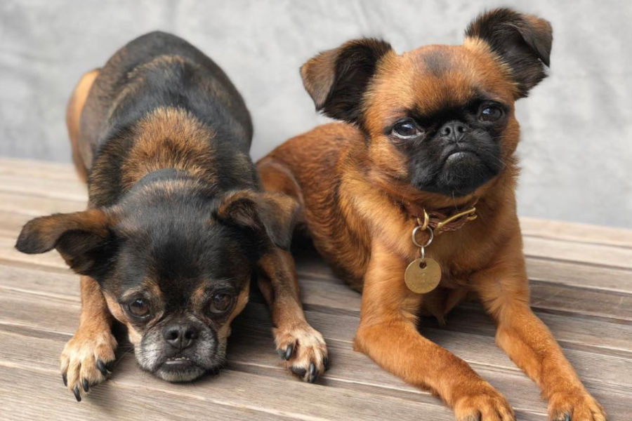 Brussels Griffon have expressive faces (Photo: Danzig Bros / Instagram)