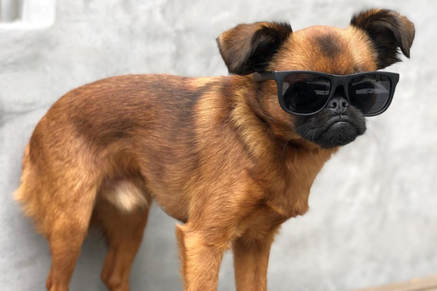 Brussels Griffon can come in a variety of different colors (Photo: Danzig Bros / Instagram)