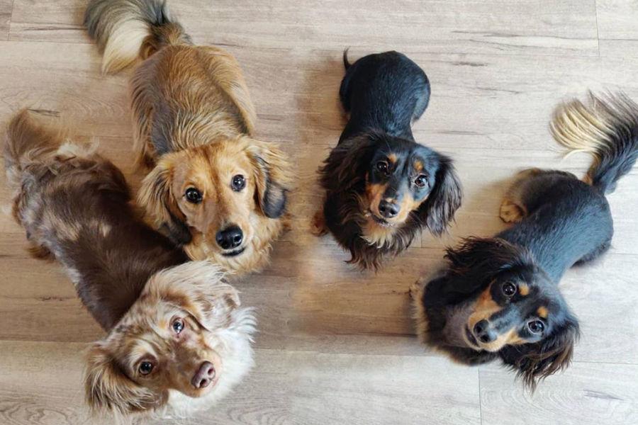 Buddy and his Dachshund friends (Photo: buddythedappleddachshundv / Instagram)
