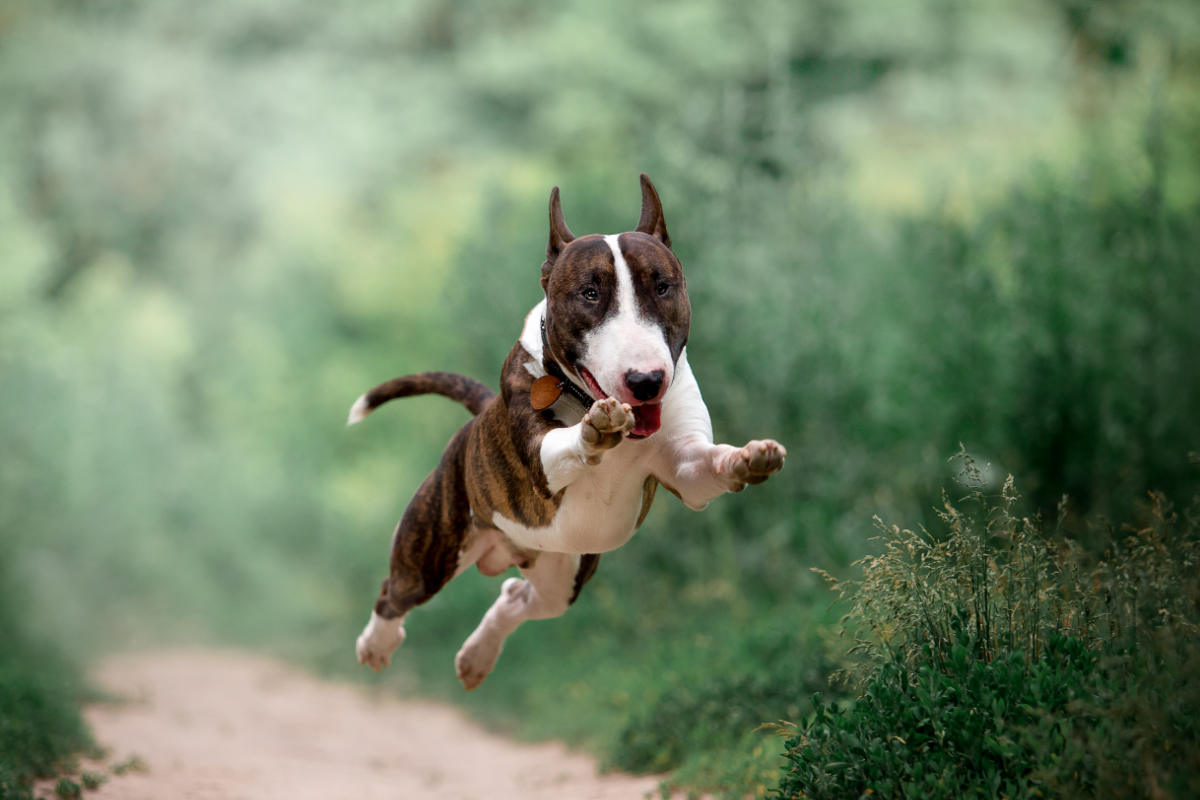 Bull Terrier (Photo: Adobe Stock)
