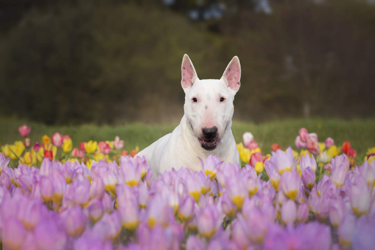 Bull Terrier in a field with flowers (Photo: Adobe Stock)