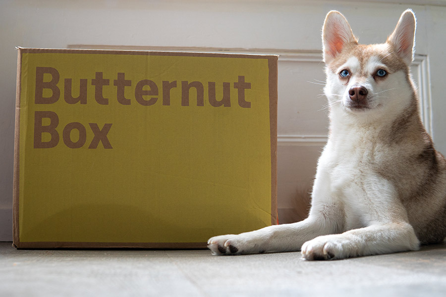 Alaskan Klee Kai Copper with his Butternut Box delivery (Photo: @lifewithkleekai / Instagram)