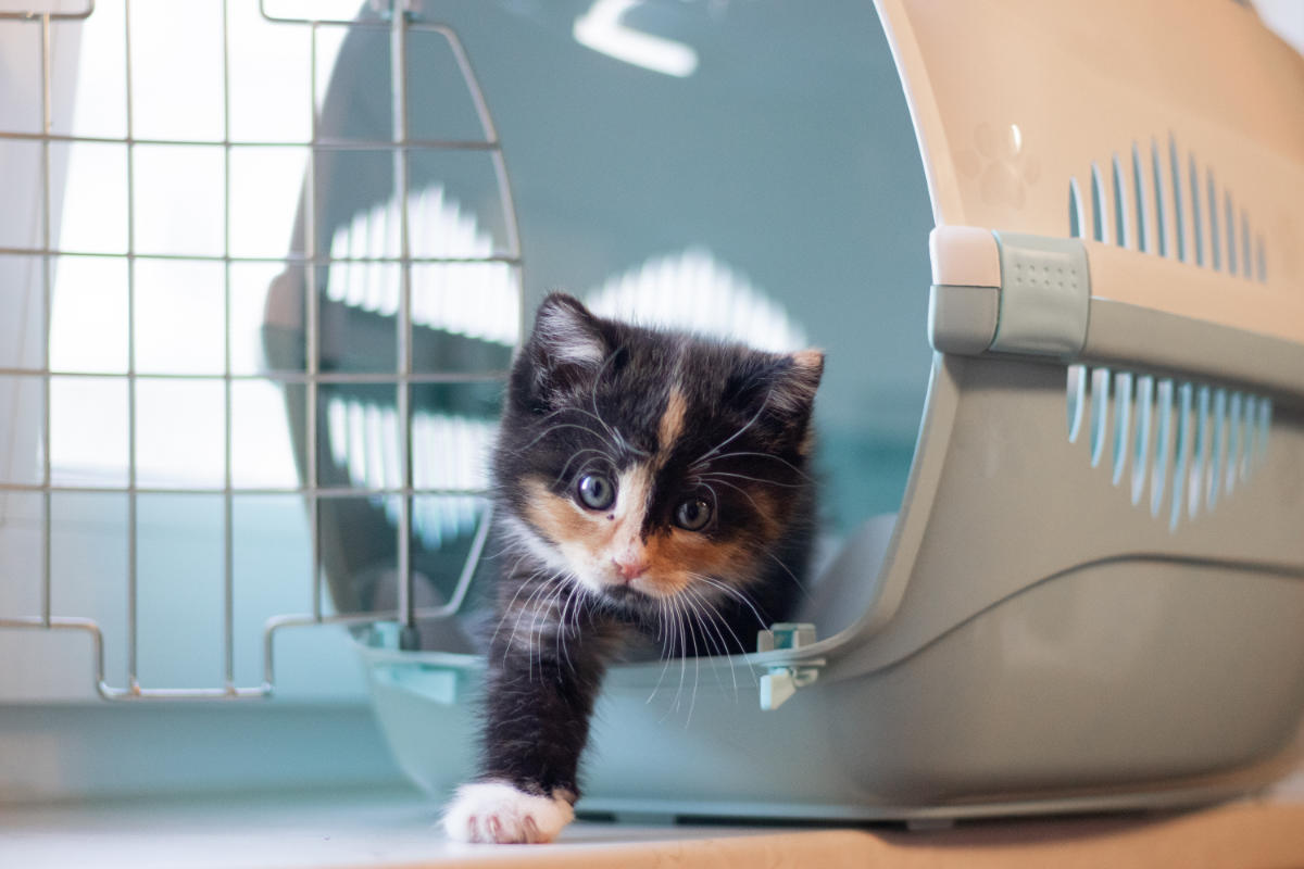 Kitten ventures out of a travel crate (Photo: Adobe Stock)