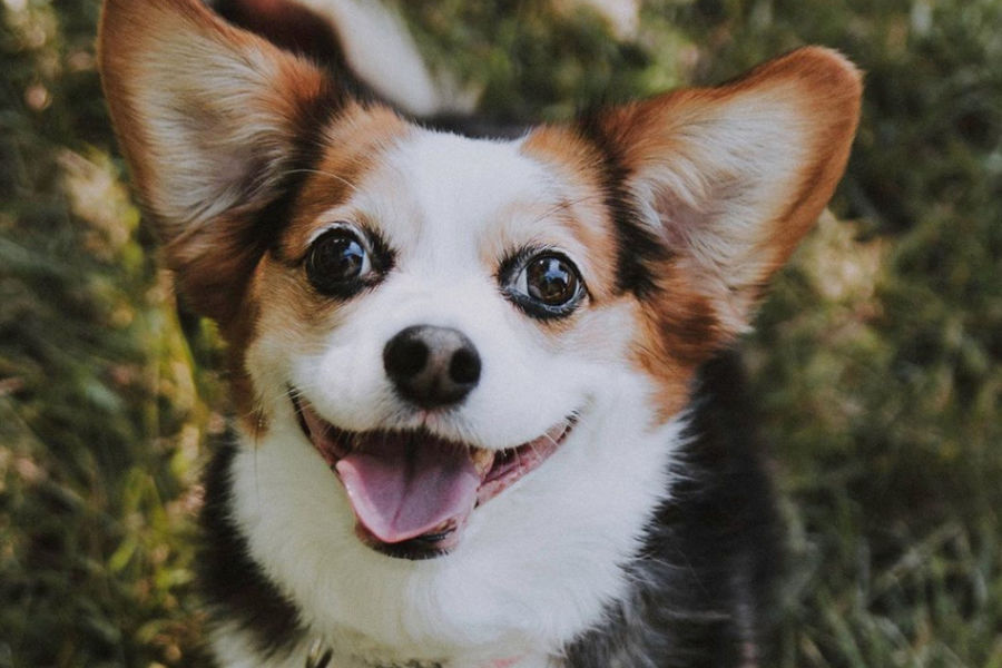 Bentley the Corgi-cava (Photo: @bentley_the_cavacorgi / Instagram)