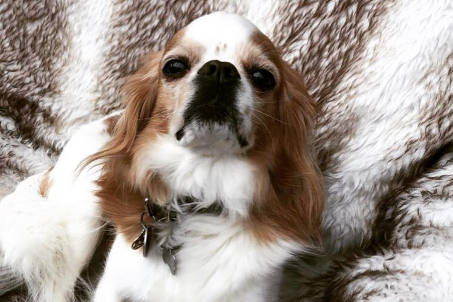 Tinkerbell the Cavachin (Photo: @tinkerbell_the_spaniel / Instagram)