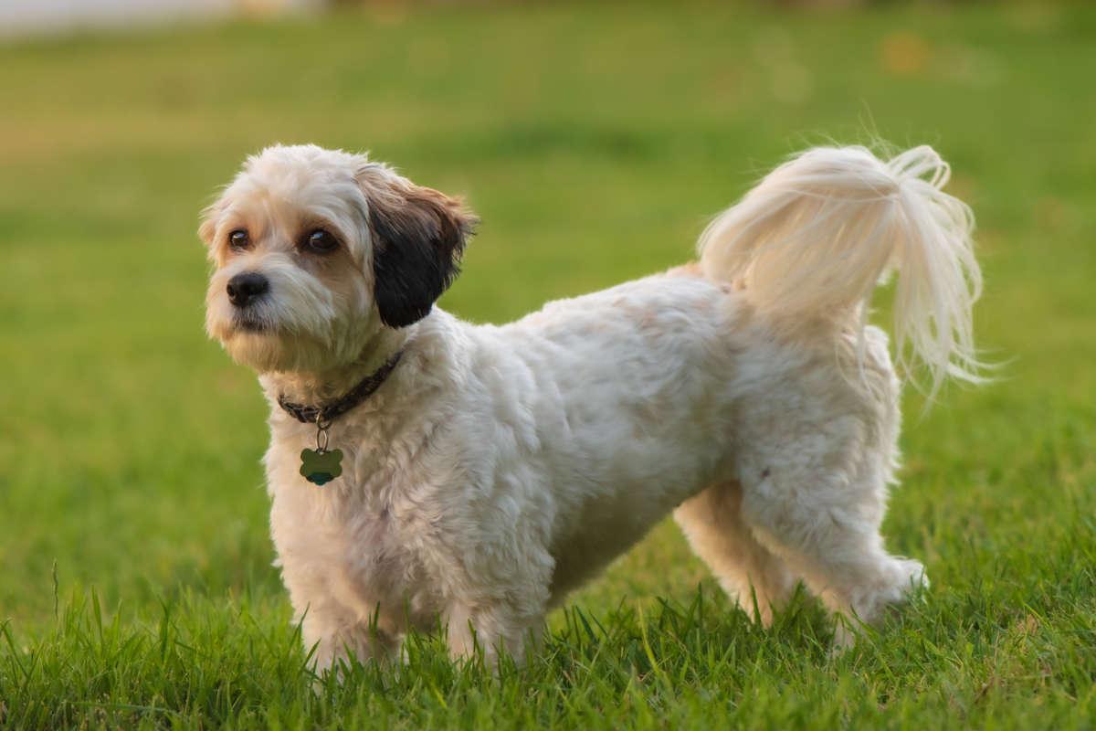 Cavachon puppy (Photo: Adobe Stock)