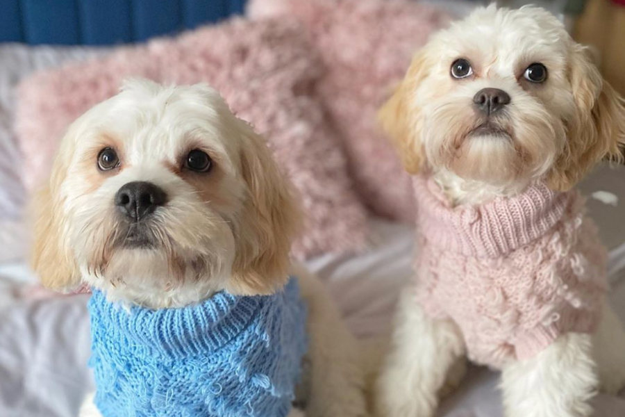 Cavachons Arley and Dolly (Photo: @dollyandarley / Instagram)