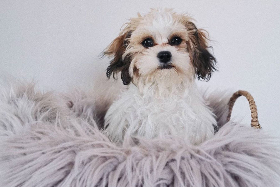 Monty the Cavachon (Photo: cavachon.monty / Instagram)