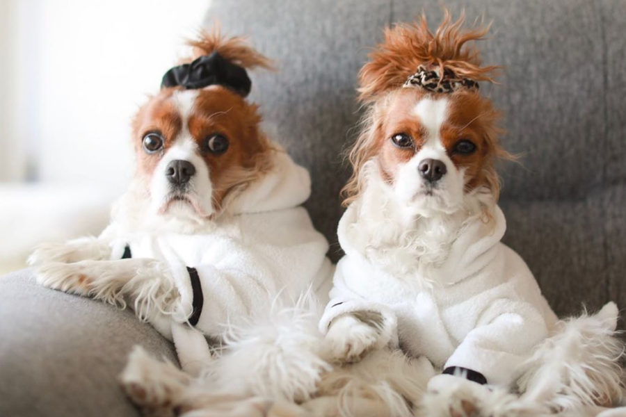 Herky and Milton the Cavalier (Photo: @herkythecavalier / Instagram)
