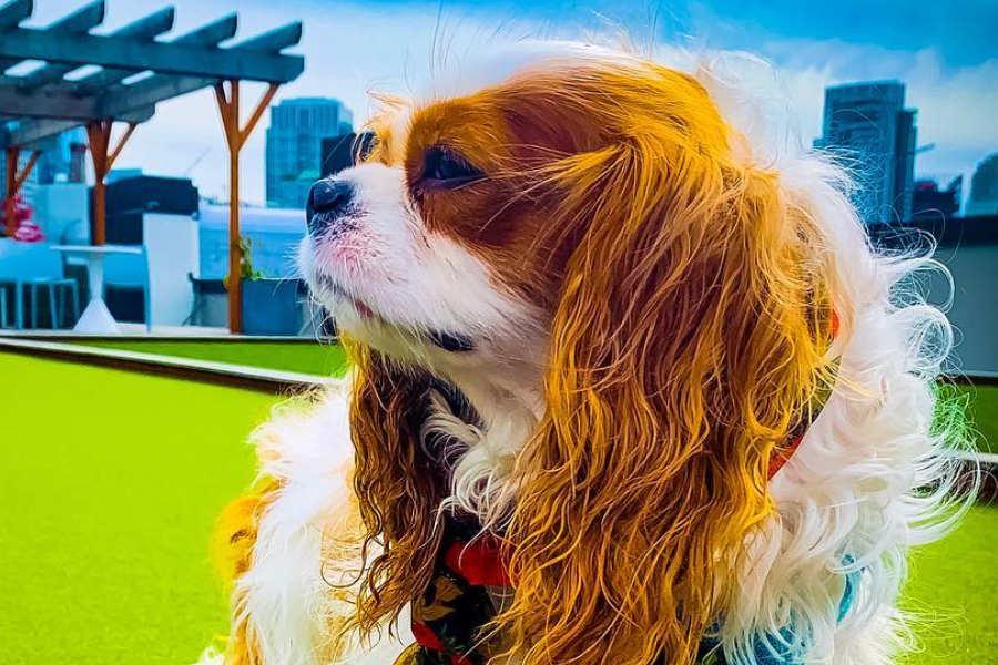 Cavalier King Charles Spaniel (Photo: Daisy Buchanan / @thegreatdaisydog)