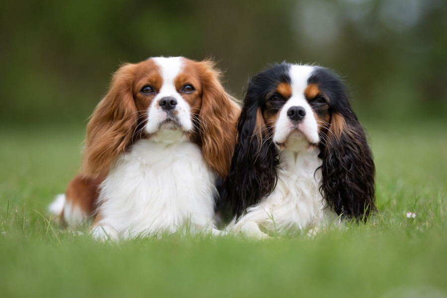 Cavalier King Charles Spaniel are the 19th most popular dog in the USA (Photo: Adobe Stock)