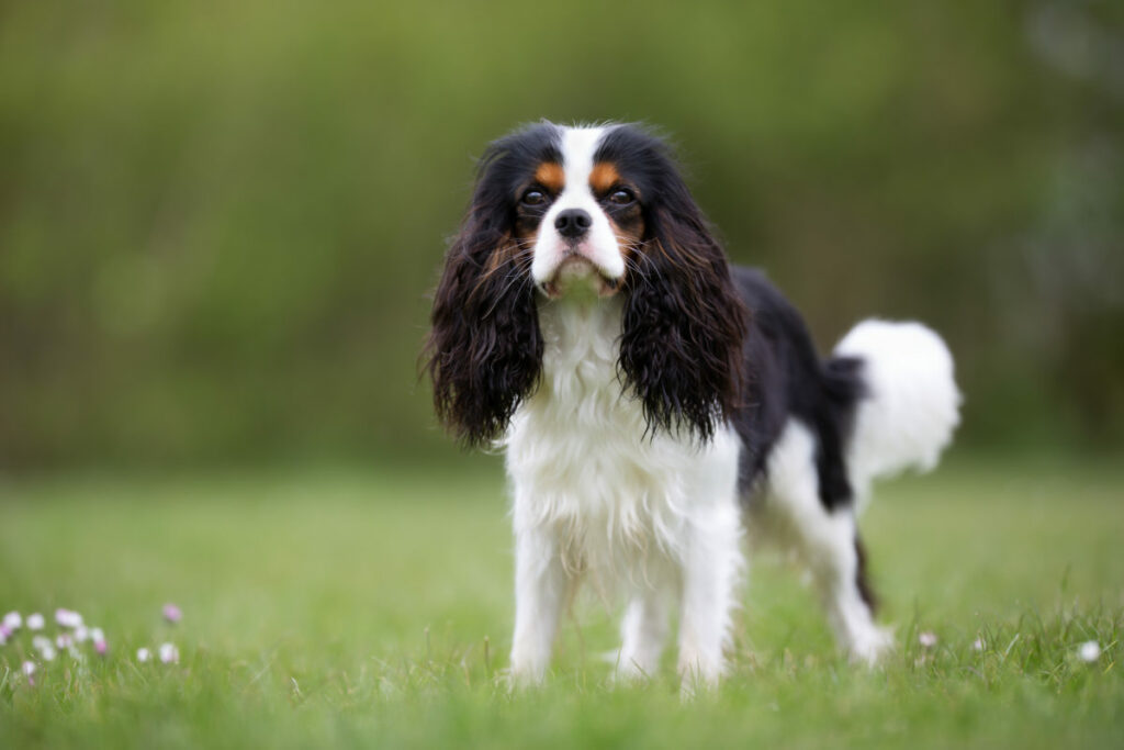 Cavalier King Charles Spaniel dog in the nature on a sunny day (Photo: Adobe Stock)