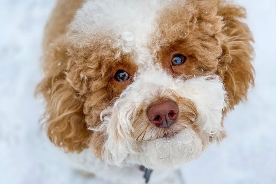Cooper the Cavapoo (Photo: @_instacoop / Instagram)