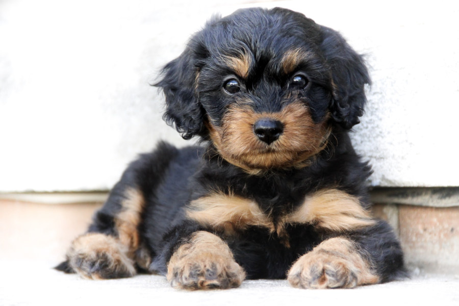 Cavapoo puppy (Photo: Adobe Stock)