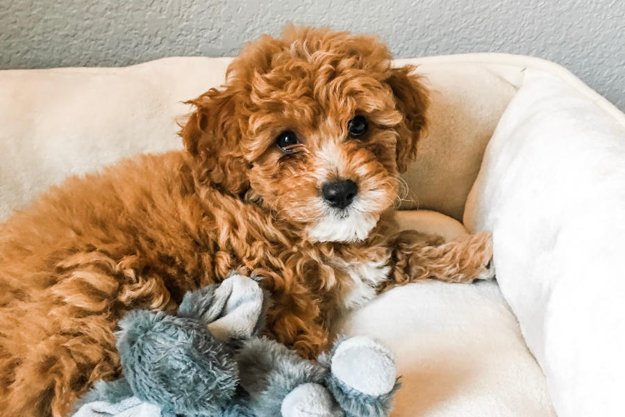 Ramsey the Cavapoochon (Photo: @teddygramsey / Instagram)