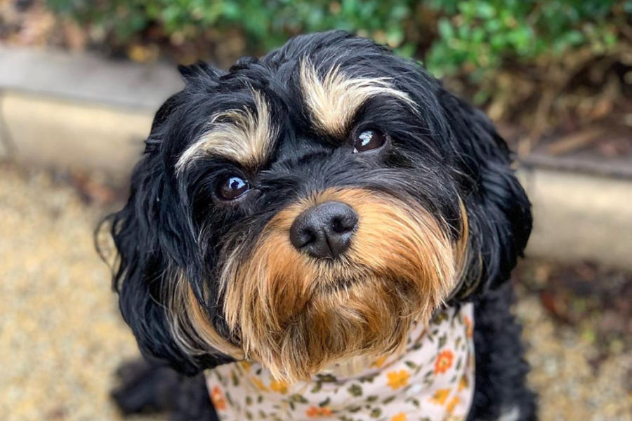 Coffee the Cavoodle (Photo: coffeethecavoodle / Instagram)