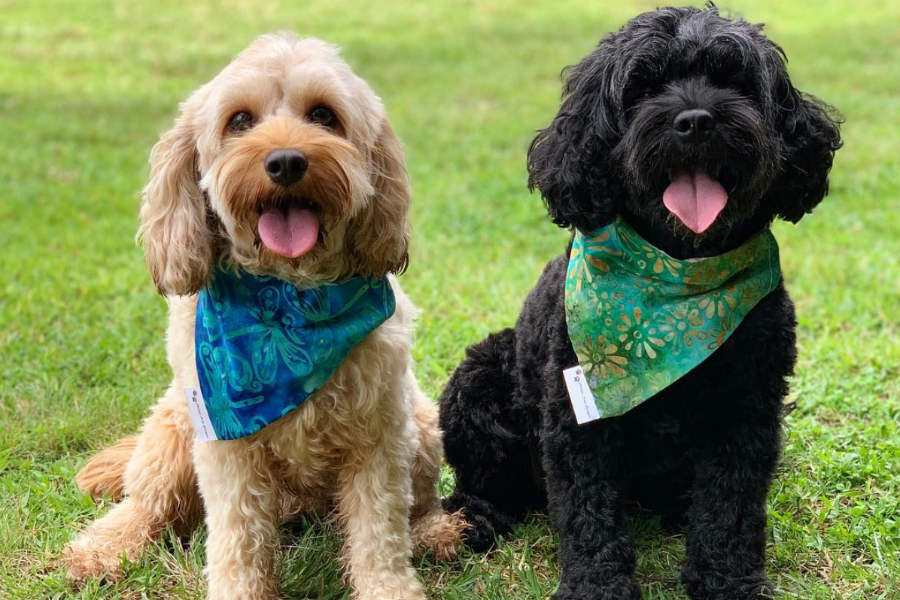 Cavoodles Lily and Daisy (Photo: lily_cute_cavoodle / Instagram)