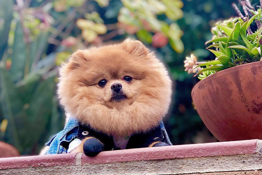 Hi I'm Chewie the Pomeranian (Photo: @hi_im_chewie / Instagram)