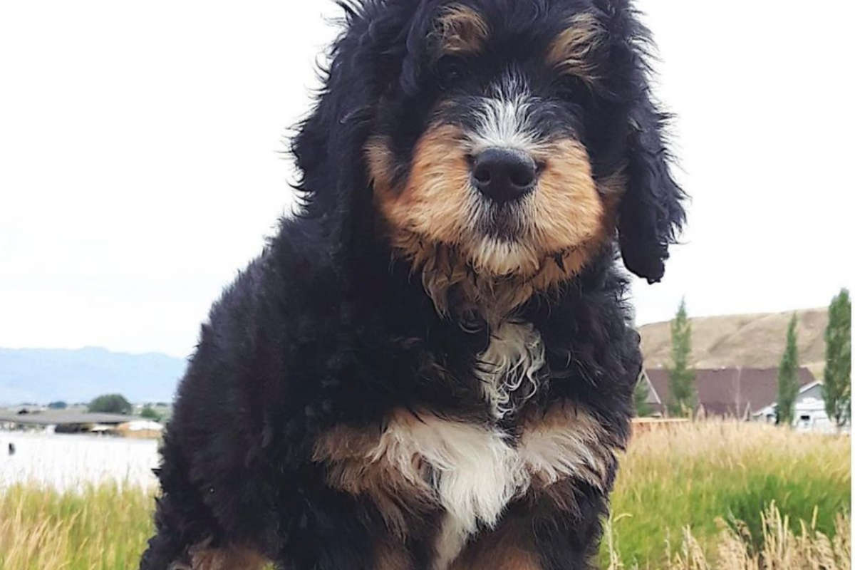 Chewy the Bernedoodle (Photo: chewy_bernedoodle / Instagram)