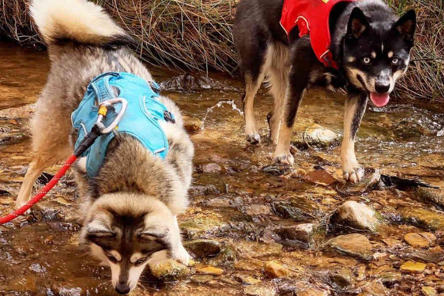 Chia and Devo the Alaskan Klee Kai (Photo: @chiapet_devodog / Instagram)