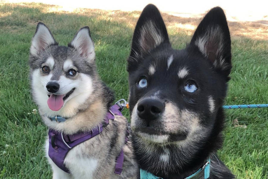 Chia and Devo the Alaskan Klee Kai (Photo: @chiapet_devodog / Instagram)