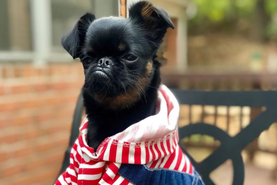 Chico the Brussels Griffon (Photo: hazelandthegang / Instagram)