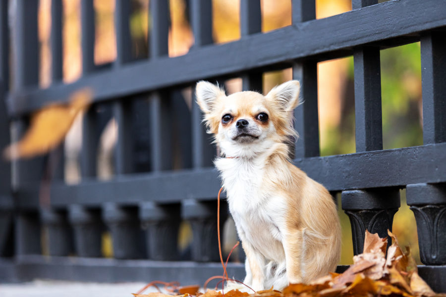 Cream long haired chihuahua walks on embankment in big city (Photo: Adobe Stock)