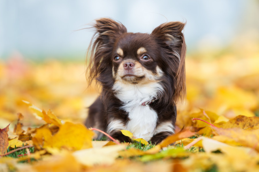 Long-haired Chihuahua (Photo: Adobe Stock)