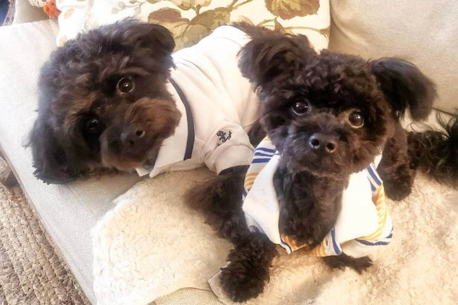 Benji and Bisou the Chipoodles (Photo: chipoo_brothers / Instagram)