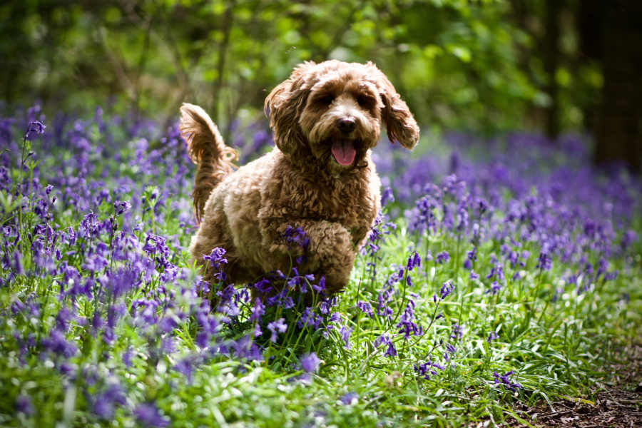 Cockapoo plays in bluebells (Photo: Adobe Stock)