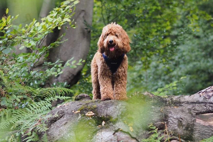 Cockapoo Oscar (Photo: @two.london.poos / Instagram)
