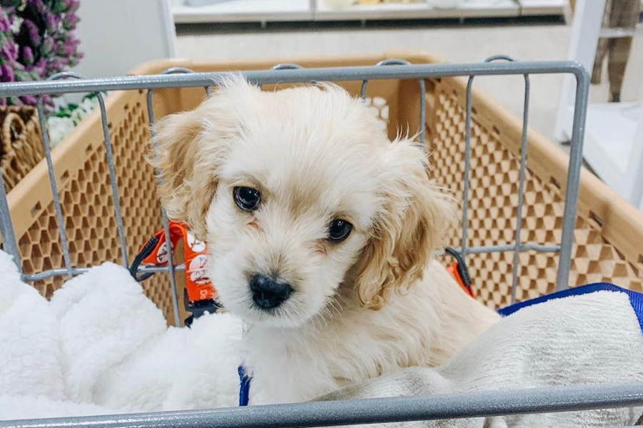 Cockapoo Harvey (Photo: @harvey_the_cockapoo_ / Instagram)