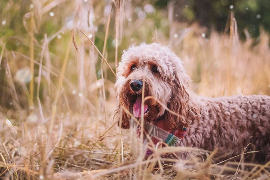 Cockapoo Wilson (Photo: @wilson_cockapoo / Instagram)