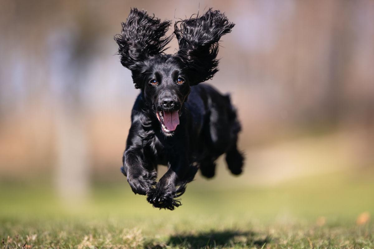 Cocker Spaniel enjoys some exercise (Adobe Stock)