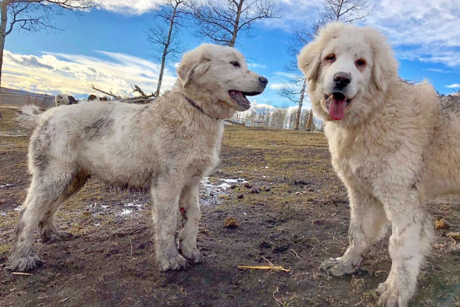 Colorado Mountain Dogs Sybie and Yeti (Photo: @goatsofyamnuska / Instagram)